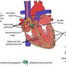 Cardiac automaticity   Science online