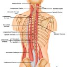 Erector Spinae Muscle consists of 3 muscles, Iliocostalis,Longissimus & Spiralis