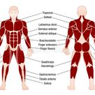 Muscles Chart Description Muscular Body Man Stock Vector - Illustration of deltoids, health: 90796905