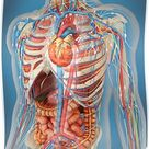 'Human body showing heart and main circulatory system position.' Poster by StocktrekImages