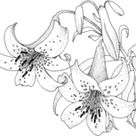 Campbells Magnolia coloring page | Free Printable Coloring Pages