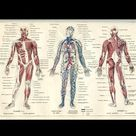 Muscle Anatomy Charts  Skeletal human Body Posters