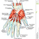 Anatomy Of Muscular System - Hand, Palm Muscle - T Stock Vector - Illustration of bodybuilding, health: 27589400