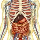 Box Canvas Print. Human body with internal organs, nervous
