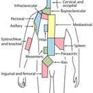 List of lymph nodes of the human body - Wikipedia