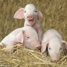 Cute Piggies