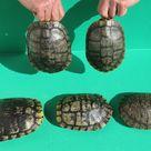 Red-eared Slider Turtle Shells