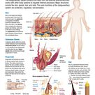 Human Body: Integumentary System