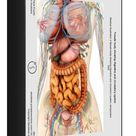 1000 Piece Puzzle. Female body showing digestive and circulatory