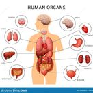 Human Body Internal Organs. Stomach And Lungs, Kidneys And Heart, Brain And Liver. Medical Anatomy Vector Infographics Stock Vector - Illustration of healthcare, design: 132609653