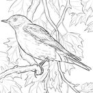 Mountain Bluebird coloring page | Free Printable Coloring Pages