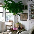 Indoor Fig Trees