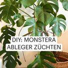 DIY: Monstera vermehren