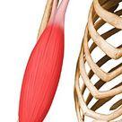 Biceps Brachii - UW Radiology