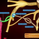 Otic ganglion - Gross anatomy , Roots and Branches : Animated anatomy
