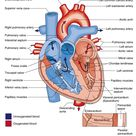 The Heart: Structure and Function