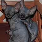 how much does a sphynx cost - hairless cat price - sphynx price — NOCOATKITTY SPHYNX