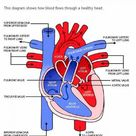 Human Heart Labeled