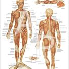 The Human Muscular System Anatomy Poster 18 X 24   Etsy
