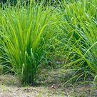 8 Pflanzen, die Mücken fernhalten