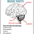Brain Parts Worksheets   Grades 4 6