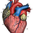 Antique medical scientific illustration high resolution heart