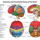 Neuroanatomy: The Basics | Dana Foundation