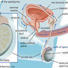 ejaculation   Definition & Process