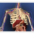 10 inch Photo. Human skeleton showing digestive system and