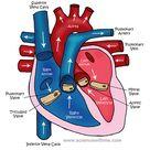 heart-diagram - Whitehorse Veterinary Hospital