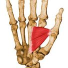 ADDUCTOR POLLICIS// Origin: anterior aspect of 3rd metacarpal and capitate// Insertion: anteromedial
