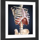 Framed Photo. Visualization of human diaphragm