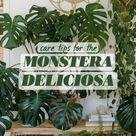 CARE TIPS FOR THE MONSTERA DELICIOSA