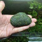 Growing Moss on River Stones using the Sponge Bath Net method - Create Moss Ball for Aquarium