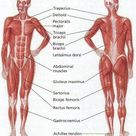 How does the human muscular system function?   Science Facts