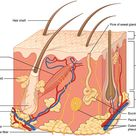 What is the Difference Between Apocrine and Eccrine Sweat Glands   Pediaa.Com