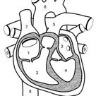 Learn the Anatomy of the Heart
