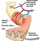 # 56 Absorption, small intestine and significance of villi