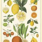 Cuisine Posters - Citrus
