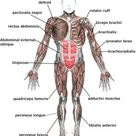 Biology for Kids: Muscular System