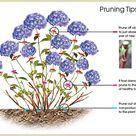 Care Of Hydrangeas