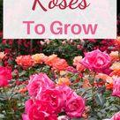Beautiful Roses to Grow