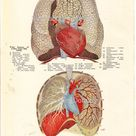 Human Anatomy Child's Heart & Lungs Vintage Lithograph Chart To Frame 1920s