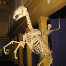 I consider this as the best part of the Australian Museum. A human skeleton riding a horse skeleton