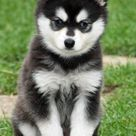 Pomsky Pictures