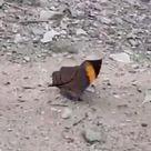 Beatiful Batterfly