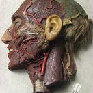 wax model of facial nerves (pes anserinus, frontal nerve and the infra-orbitary nerve), by james paxton, london, c 1824