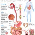 Human Body: Digestive System