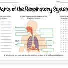 Parts of the Respiratory (Breathing) System Worksheet   Teaching Resources