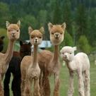Shaved Alpaca